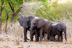 A herd of African elephants drinking at a muddy waterhole Stock Images