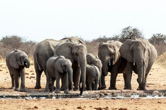 A herd of African elephants drinking at a muddy waterhole Royalty Free Stock Image