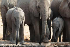 A herd of African elephants drinking at a muddy waterhole Stock Photography