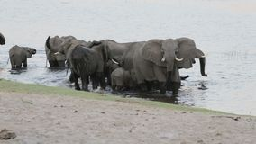Herd of African elephants drinking at a muddy waterhole stock video