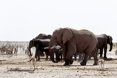 Herd of African elephants drinking at a muddy waterhole Stock Images