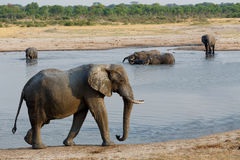 Herd of African elephants drinking at a muddy waterhole Royalty Free Stock Photo