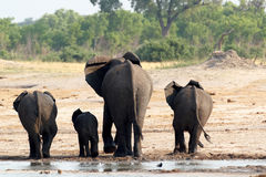 Herd of African elephants drinking at a muddy waterhole Royalty Free Stock Photos