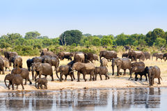 A herd of African elephants drinking at a muddy waterhole Royalty Free Stock Photos