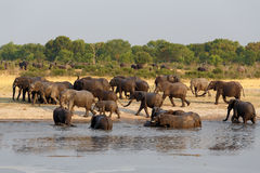 Herd of African elephants drinking at a muddy waterhole Stock Image