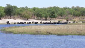 Herd of African elephants drinking from river