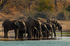 A herd of African elephants drinking at a waterhole lifting their trunks, Chobe National park, Botswana, Africa. A herd of African elephants drinking at a Stock Photo