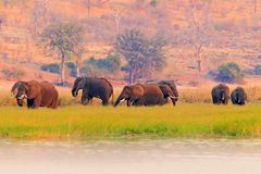 A herd of African elephants drinking at a waterhole lifting their trunks, Chobe National park, Botswana, Africa. Wildlife scene fr stock images