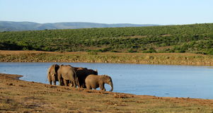 Herd of African Elephants. Elephants drinking at a watering hole in africa Royalty Free Stock Photos