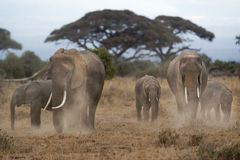 Herd of African Elephants dusting. Group of African bush elephants  (Loxodonta africana) dusting to protect their skin from biting insects, Kenya Stock Image