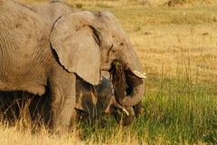Herd of African Elephants Feeding Stock Photo