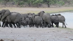 Herd of African elephants going out from waterhole stock video