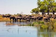 The herd of African elephants Loxodonta africana at the waterhole, Botswana Royalty Free Stock Photos