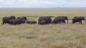 A herd of African Elephants Stock Image