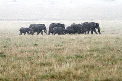 A herd of African elephants moving in rain Stock Photos