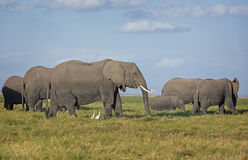 Herd of African Elephants on pasture. Group of African bush elephants  (Loxodonta africana) , Amboseli National Park, Kenya Stock Images