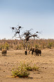Herd of African Elephants in Savannah, Kruger Park, South Africa Royalty Free Stock Photography