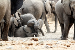 A herd of African elephants, small elephant playing Stock Photo