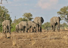 Herd of African elephants in South Luangwa National Park, Zambia Stock Images