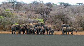 A herd of African elephants Royalty Free Stock Photos