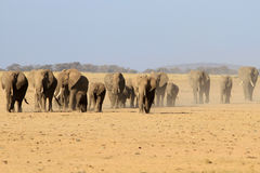 The herd of african elephants. The herd of uneven-age elephants goes in dust on the dried-up African savanna under the sun stock photography
