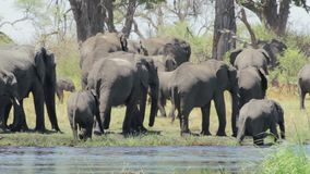 Herd of African elephants stock video