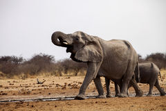 Herd of African elephants at waterhole Etosha, Namibia Royalty Free Stock Photos