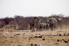 Herd of African elephants at waterhole Etosha, Namibia Royalty Free Stock Photo