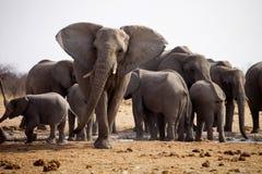 Herd of African elephants at waterhole Etosha, Namibia Royalty Free Stock Photography