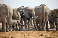 Herd of African elephants at waterhole Etosha, Namibia. The herd of African elephants at waterhole Etosha, Namibia Stock Photo