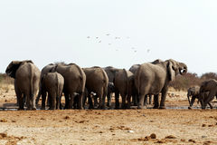 Herd of African elephants at a waterhole Royalty Free Stock Images