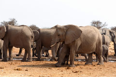 Herd of African elephants at a waterhole Royalty Free Stock Photography