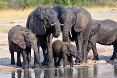 Herd of African elephants, at the waterhole in Hwange National Park, Zimbabwe Royalty Free Stock Images