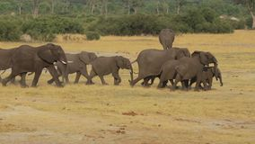 Herd of African elephants at waterhole stock video