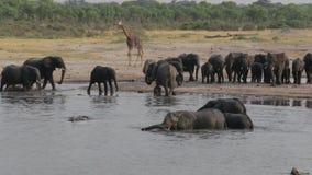 Herd of African elephants at waterhole in national park Hwankee stock video footage
