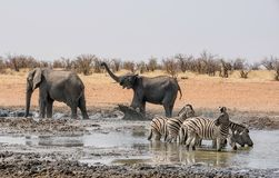 Elephant Herd. A herd of African Elephants at a watering hole in Namibian savanna Royalty Free Stock Photo