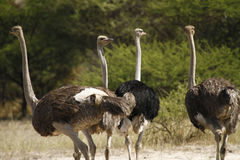Herd of African Ostriches Royalty Free Stock Images