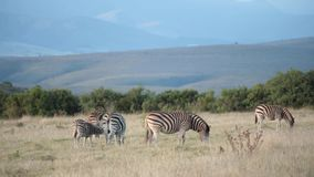 A herd of African plains zebra graze in the hills stock footage