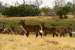 Herd of African Water Buck Stock Photos