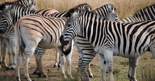 Herd of African Zebras Royalty Free Stock Photo