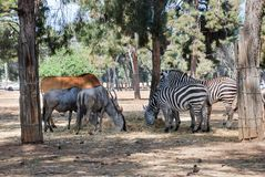 A herd of african zebras and antelopes graze royalty free stock photos