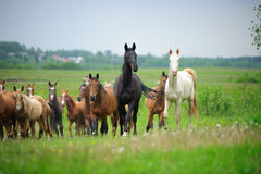 Herd of akhal-teke Horse on the field Royalty Free Stock Images