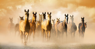 Herd of akhal-teke horses in dust running to pasture Stock Photo