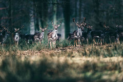 Herd of alert fallow deer in forest. Royalty Free Stock Photography