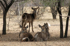 Herd of Alert Waterbuck Listening Stock Photos