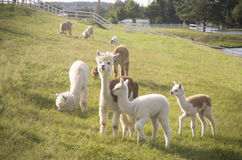 Herd of Alpaca animals Royalty Free Stock Photos