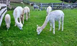 Herd of Alpaca Llamas   grazing grass Stock Images