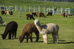 Herd of alpaca on a ranch Royalty Free Stock Image