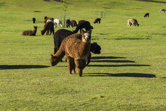 Herd of alpaca on a ranch Stock Images