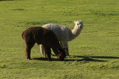 Herd of alpaca on a ranch Stock Photography